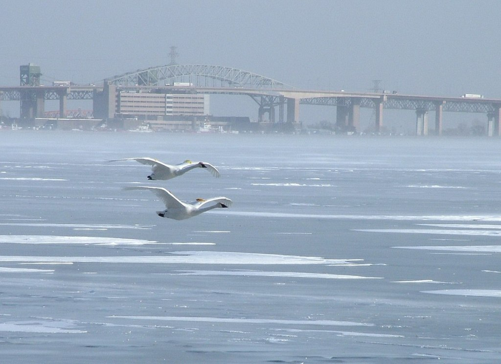 If you don't enjoy the winter weather, you could fly south – but even these Trumpeter swans are staying around Burlington